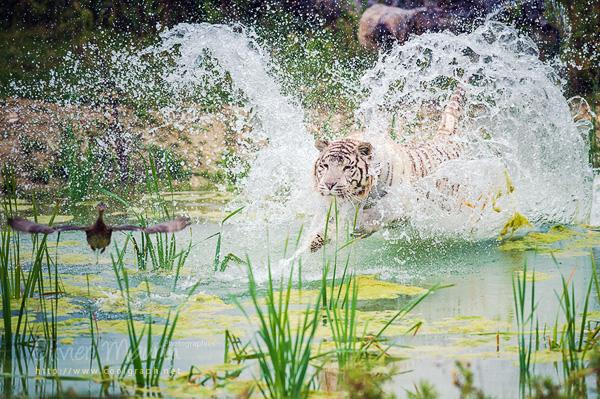 Tigre blanc à la chasse au Parc des Félins