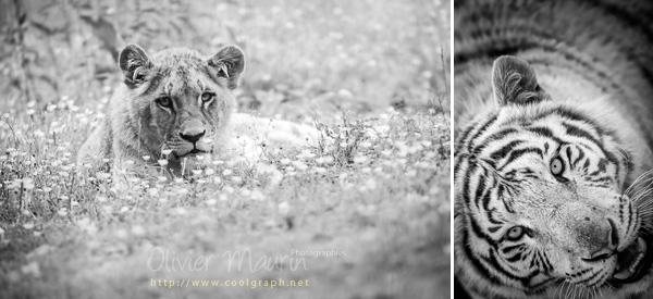 photos de félins en noir et blanc
