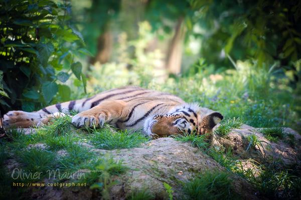 photos de tigre de Sumatra