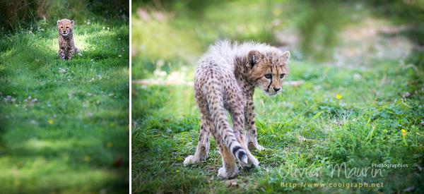 photos de bébé guépard