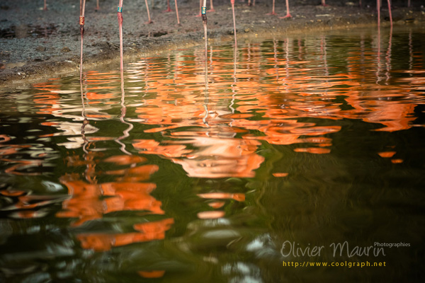 reflets flamants roses
