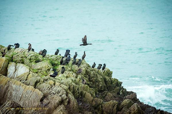 Cormorans sur le rocher