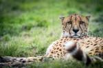 Le repos du guépard