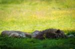 Sieste à l'ombre pour le lion et sa lionne
