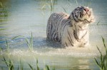 Tigre blanc dans l'eau