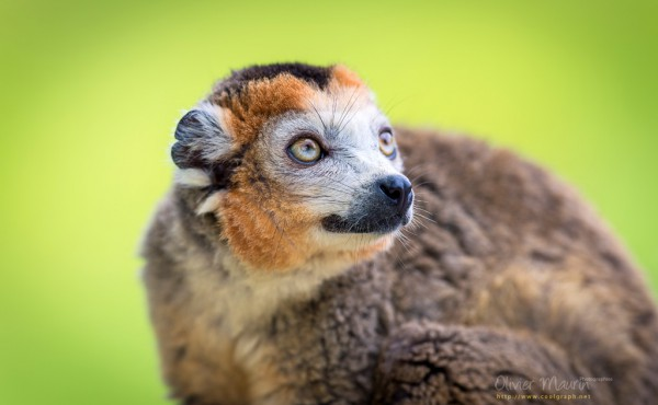 Photo d'un Lemur couronné