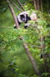 Lémurien dans les arbres