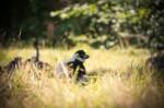 Lémurien dans l'ombre