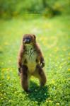 Un Lémurien debout à attendre