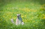 Le Lémurien Maki Catta assis à observer
