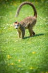 Le Lémur couronné sur ses gardes